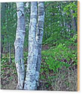 Lone Birch In The Maine Woods Wood Print