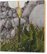 Lone Calla Lily Wood Print