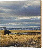 Lone Cow Against A Stormy Montana Sky. Wood Print