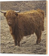 Lone Highland Cow Wood Print