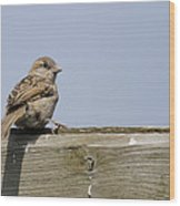 Lonely Sparrow Wood Print