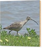 Long Billed Curlew At Palacios Bay Tx Wood Print