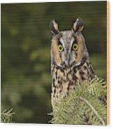 Long-eared Owl, Asio Otus (captive Wood Print