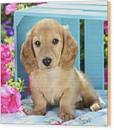 Long Eared Puppy In Front Of Blue Box Wood Print