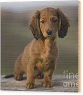 Long-haired Dachshund Puppy Wood Print