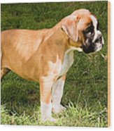 long tailed Boxer Puppy in the sun Wood Print