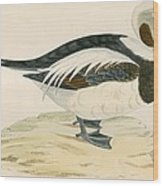 Long Tailed Duck Wood Print
