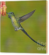 Long-tailed Sylph Wood Print