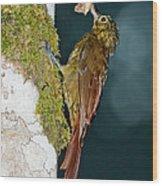 Long-tailed Woodcreeper Wood Print