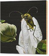 Longhorn Beetle Feeding Wood Print