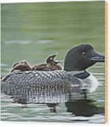 Loon Chick - Big Yawn Wood Print