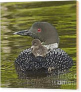 Loon Chick Rides On A Parents Back Wood Print