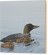 Loon Chicks Cruising With Mom Wood Print