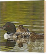 Loon Parent With Two Chicks Wood Print