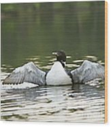 Loon Wing Spread - Drying Off Wood Print