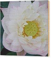Lotus Blooming Wood Print