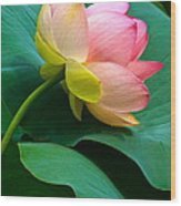 Lotus Blossom And Leaves Wood Print by Byron Varvarigos