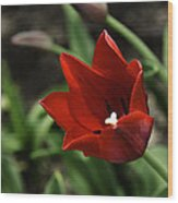 Love Tulip Time Wood Print