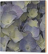 Lovely In Blue And White - Hydrangea Wood Print
