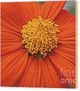 Lovely In Orange - Mexican Daisy Wood Print