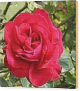 Lovely Red Rose Wood Print