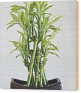 Lucky Bamboo Plant Wood Print