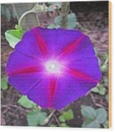 Luminous Morning Glory In Purple Shines On You Wood Print