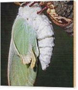 Luna Moth Actias Luna Newly Hatched Wood Print