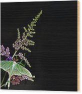 Luna Moth Astilby Black Background Wood Print