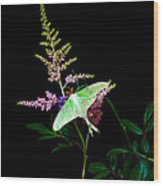 Luna Moth Astilby Flower  Wood Print