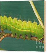 Luna Moth Caterpillar Wood Print
