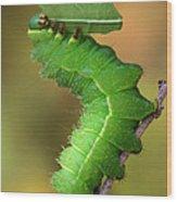 Luna Moth Caterpillar Eating Wood Print