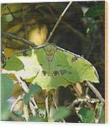 Luna Moth In The Sun Wood Print