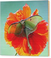 Luna Moth On Poppy Aqua Back Ground Wood Print