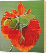 Luna Moth On Poppy Square Format Wood Print