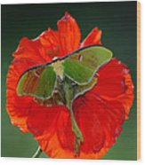 Luna Moth Orange Poppy Green Bg Wood Print