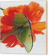Luna Moth Poppy High Key Wood Print