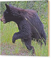 Lunging Black Bear Near Road In Grand Teton National Park-wyoming   Wood Print