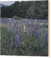 Lupin Field Wood Print