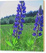 Lupine Flower Wood Print