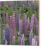 Lupine Mix Wood Print