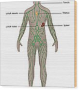 Lymphatic System In Male Anatomy Wood Print