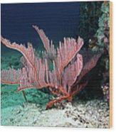Lyre Gorgonian, Harp Coral Wood Print
