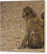 Macaque Monkeys Wood Print