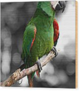 Macaw With Black And White Background Wood Print