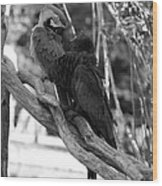 Macaws Of Color B W 15 Wood Print