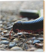 Macro  Millipede Wood Print