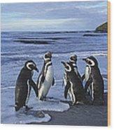 Magellanic Penguin Trio On Beach Wood Print