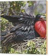 Magnificent Frigatebird Galapagos Wood Print