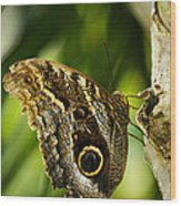 Magnificent Owl Butterfly Wood Print